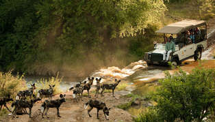 morukuru_family_madikwe-gamedrive_with_african_wild_dogs_314_179
