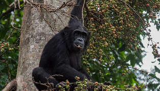 chimp in mahale shutterstock_576055888_314_179